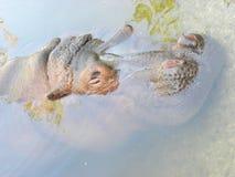 Hippopotamus sob a água Imagens de Stock