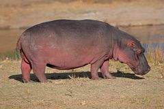 Hippopotamus, South Africa Stock Photography