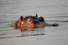 Hippopotamus, South Africa Stock Images