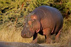 Hippopotamus, South Africa Stock Photos