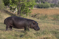 Hippopotamus standing in the grass. Royalty Free Stock Images