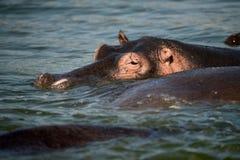 A hippopotamus stands in the Nile River in Uganda Stock Photo