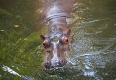 Hippopotamus the strongest animal Royalty Free Stock Photography