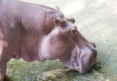 Hippopotamus the strongest animal Stock Photography