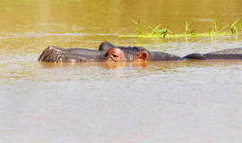Hippopotamus submerged, Kruger National Park Stock Photos