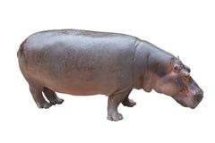 Hippopotamus sur le blanc avec le chemin de découpage Images libres de droits