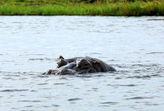 Hippopotamus swimming in a river Royalty Free Stock Photography