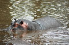 Hippopotamus swimming in river Royalty Free Stock Photo