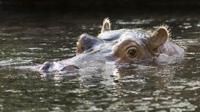 Hippopotamus swimming Stock Photos