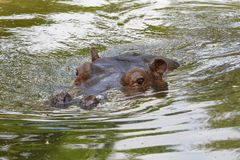 hippopotamus swimming in the water Stock Photos