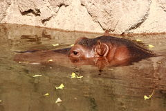 Hippopotamus Swimming In Zoo Enclosure Stock Image