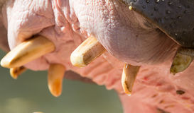 Hippopotamus teeth. An animal in a park on nature. A photo Stock Photo