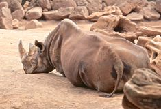 Hippopotamus. Tired relaxing large brown thick skinned hippopotamus in the royalty free stock photography