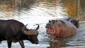 Kruger Hippo. Hippopotamus trying to chase water buffalo away from it`s watering hole Royalty Free Stock Photography