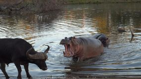 Kruger Hippo Mouth Open. Hippopotamus trying to chase water buffalo away from it`s watering hole Stock Images