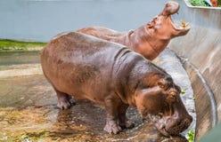 Hippopotamus two fat waiting for food Stock Photo