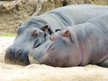 Hippopotamus. Two hippopotamus or hippo sleeping in sand Stock Image