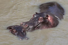 Hippopotamus. Two Hippos in the river Royalty Free Stock Photography