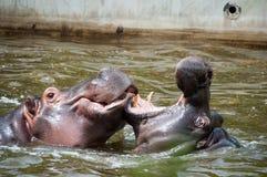 Hippopotamus. Two hippopotamus playing in the water Stock Images