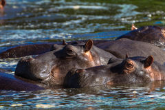 Hippopotamus Two Water Ears Up Royalty Free Stock Photo