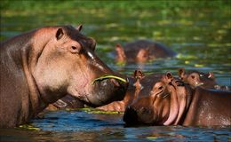 Hippopotamus in una palude. immagini stock
