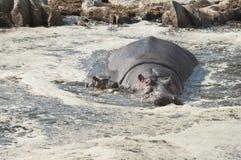 Hippopotamus und Schätzchen im Pool Stockfotografie