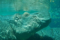 Hippopotamus Under Water. A hippopotamus submerged in water at the zoo Royalty Free Stock Photo
