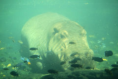 Hippopotamus underwater Stock Image