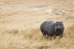Hippopotamus walk on grassland Royalty Free Stock Image