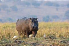 Hippopotamus walking along the Choebe River Royalty Free Stock Image