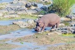 Hippopotamus walking in Crocodile River Stock Photos