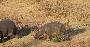 Hippopotamus walking on land