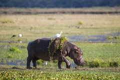Hippopotamus walking out of water. With Hyacinth Weed and Cattle Egret on back Royalty Free Stock Photos