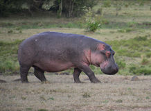 Hippopotamus walking on the plain. Rare photo of a hippo out of water during the day.  In a game reserve in Kenya Stock Photo