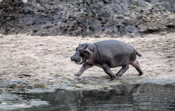 Hippopotamus walking, in Serengeti National Park Stock Photos