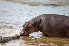 Hippopotamus walking up to a Group of Crocodiles Stock Image