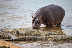 Hippopotamus walking up to a Group of Crocodiles Royalty Free Stock Images