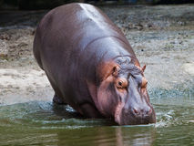 Hippopotamus walking into water Royalty Free Stock Image