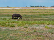 Hippopotamus walking with white egret bird in their habitat royalty free stock photo