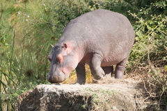 Hippopotamus walks on to rock among bushes Stock Images