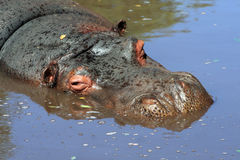 Hippopotamus in water Stock Photography
