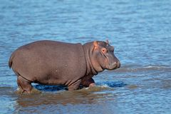 Hippopotamus in water. Young Hippopotamus (Hippopotamus amphibius) walking in shallow water, South Africa Royalty Free Stock Photography