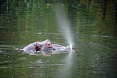 Hippopotamus in water Royalty Free Stock Image
