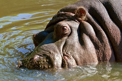 Hippopotamus in the water. Wild hippopotamus in the water Stock Image