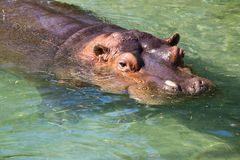 Hippopotamus in the water Stock Photography
