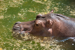 Hippopotamus in the water . Royalty Free Stock Photo