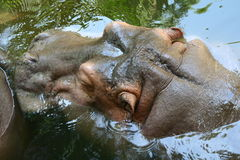 Hippopotamus in water Royalty Free Stock Photo