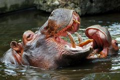 Hippopotamus in water. Portrait hippopotamus amphibius in water, young and mother Stock Photography