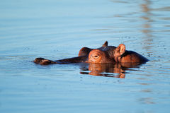 Hippopotamus in water Stock Photos