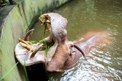 Hippopotamus in the water Royalty Free Stock Images